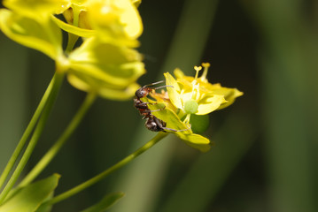 Ant on yellow on a flower
