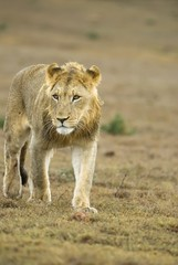 A young male lion approaches the car