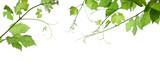 Fototapety grape-leaves