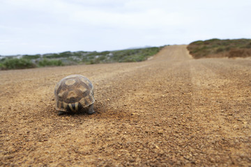 Tortoise walking along dirt road, rear view, surface level