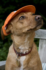 Dog with Dutch cap