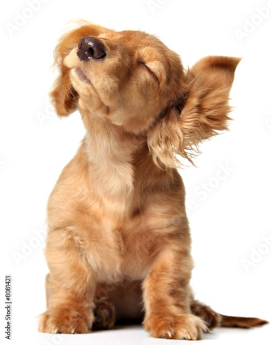 Fotobehang Hond Cute puppy listening to music, also available with headphones.