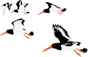 vector illustration of oystercatchers flying