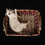 bengal cat on a basket poster