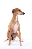 Italian Greyhound dog sitting on a high key background