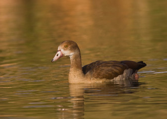 Egyptian goose on golden pond