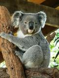 Australian Koala - Fine Art prints