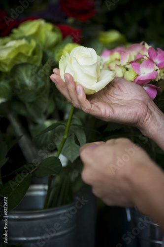 Hand holding a white rose in a pot of flowers
