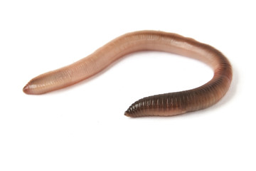 Earthworm Isolated on White