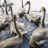 A group of young Mute Swans (Cygnus olor)