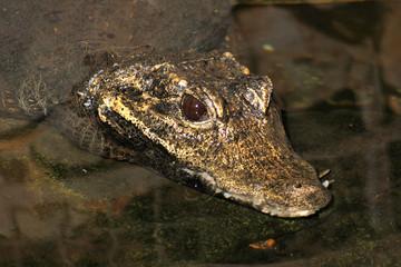 Dwarf Crocodile (Osteolaemus tetraspis)