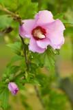 Rose of Sharon 2 - 8139493
