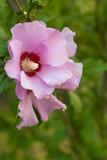 Fototapety Rose of Sharon 1