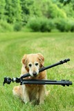 Golden retriever which keeps tripod   poster