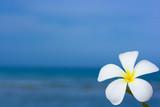 Plumeria alba flower poster