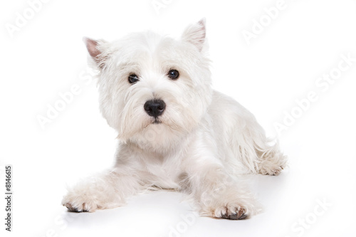 West Highland White Terrier puppy on white background