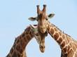 roleta: Giraffe couple in love