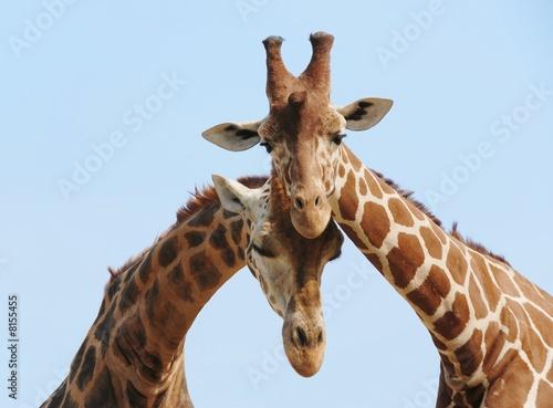 Poster Giraffe couple in love