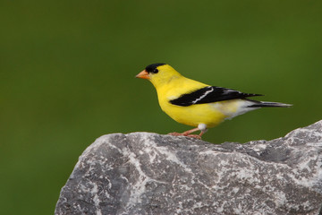 American Goldfinch Male Summer Plumage