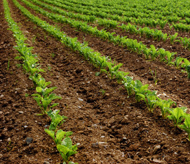 Field of turnip beets growing