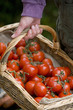 Man with basket of tomatoes, close-up