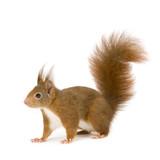 Eurasian red squirrel - Sciurus vulgaris (2 years) poster