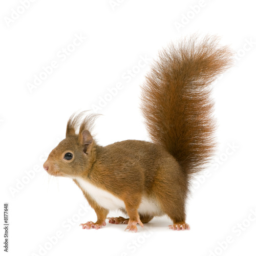 Fotobehang Eekhoorn Eurasian red squirrel - Sciurus vulgaris (2 years)