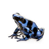blue and Black Poison Dart Frog - Dendrobates auratus poster