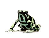 Fototapete Lebewehsen - Dendrobates - Reptilien / Amphibien