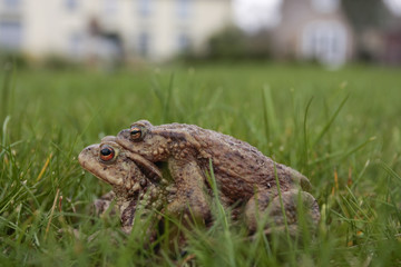 Pair of mating toads