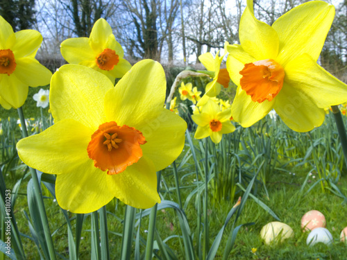 Close up of yellow daffodils and Easter eggs