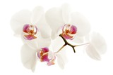 Fototapety Orchidée