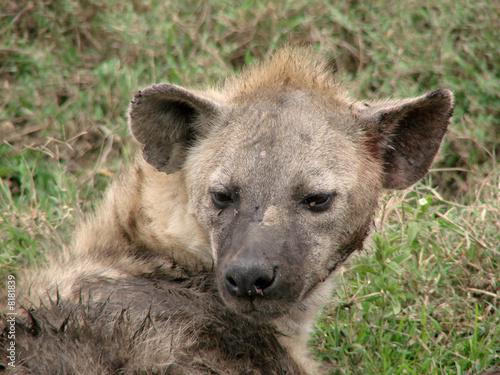 Papiers peints Hyène Hyena2