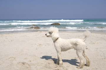 Poodle on beach, side view