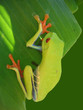 red eyed tree frog hanging on a leaf with green background