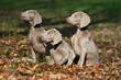 trois chien Braque de Weimar