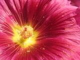 fleur et pollen poster
