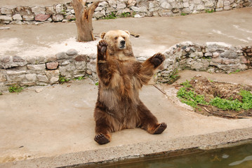 Brown bear sitting and greeting peoples in zoo