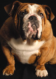 red brindle english bulldog puppy - champion bloodlines poster