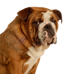 nine month old english bulldog puppy - champion bloodlines