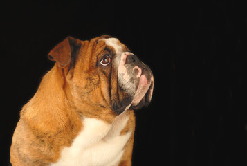 nine month old female bulldog studio portrait