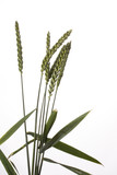 single wheat plants on a white background