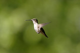 A hummingbird hovers in the air. poster