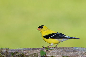 Goldfinch on Log