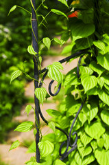 Vine on wrought iron arbor