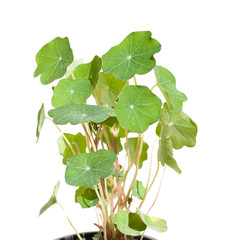 nasturtium plantlet readu for planting out