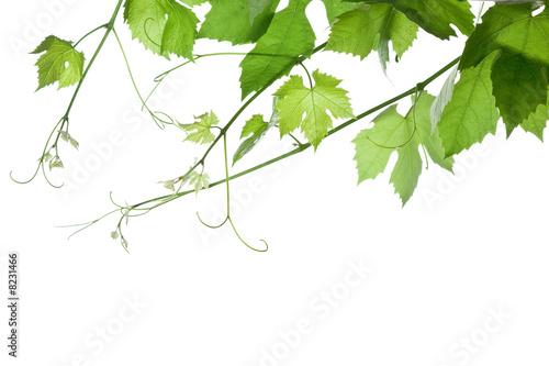 Spoed canvasdoek 2cm dik Wijngaard grape-leaves