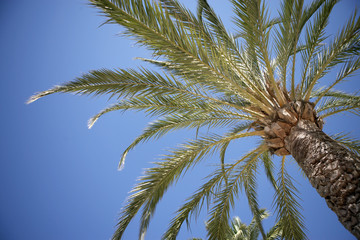 Palm trees against clear blue sky, high section, low angle view
