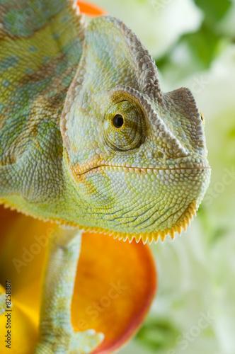 Keuken foto achterwand Kameleon Chameleon on flower