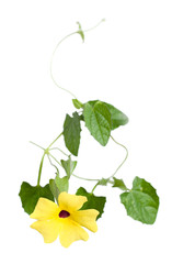 Thunbergia ( black-eyed Susan vine or clock vine), isolated
